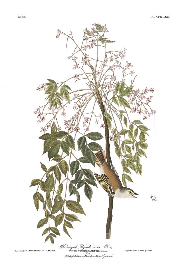 audubon-download-white-eyed-vireo-blog