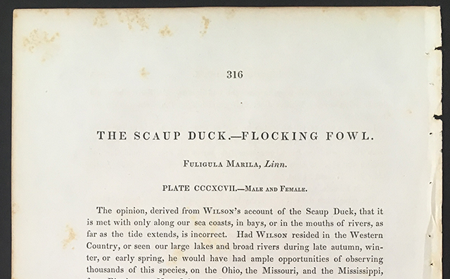 audubon-scaup-duck-description-blog-creativity-for-the-soul-blog