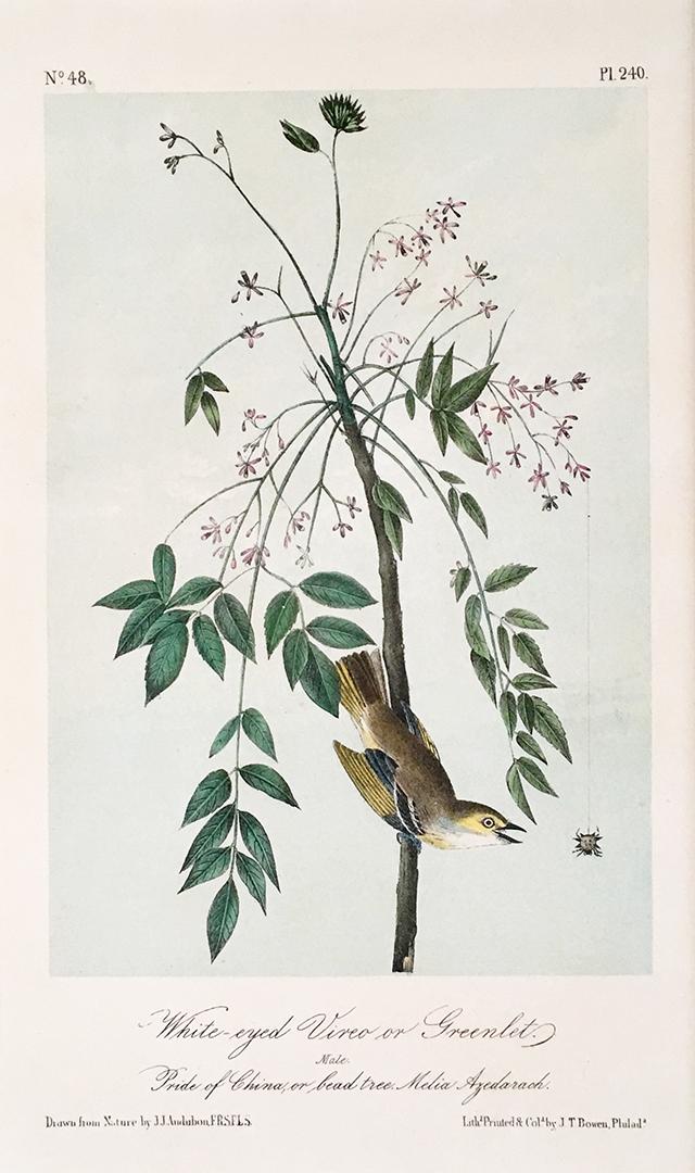 audubon-white-eyed-vireo-blog-creativity-for-the-soul-blog