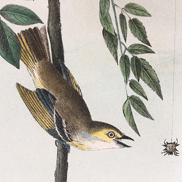 audubon-white-eyed-vireo-detail-1-blog-creativity-for-the-soul-blog