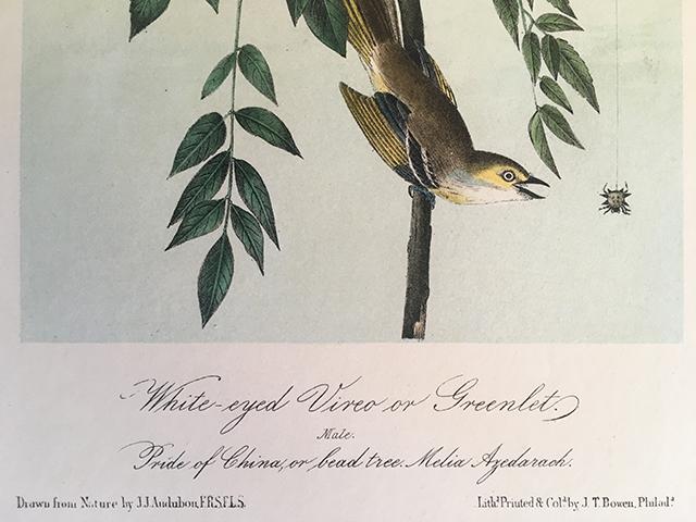 audubon-white-eyed-vireo-detail-2-blog-creativity-for-the-soul-blog