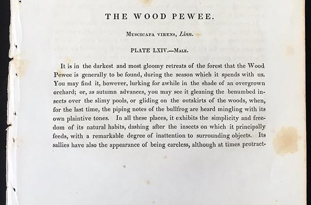 audubon-wood-pewee-description-blog-creativity-for-the-soul-blog