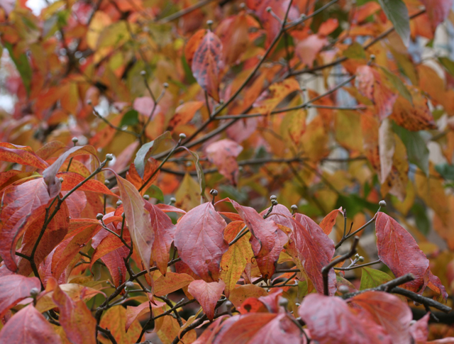 Dogwood leaves with fall colors and flower buds