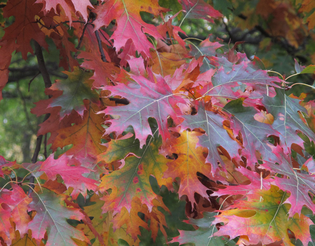 Fall oak leaves, red, yellow and green