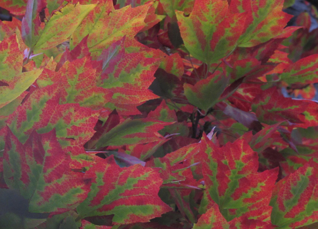 Fall maple leaves of red and green